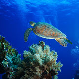 Big sea turtle soaring in deep blue sea. Big sea turtle floating over coral reef in deep blue water with air bubbles royalty free stock image