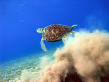 Big sea turtle starting from sand underwater. Sea turtle swims in blue underwater with cloud of sand stock image