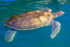 Big sea turtle swimming in the caribbean waters. A close-up portrait of a small sea turtle taken out of the water Stock Photo