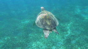 Big sea turtle swimming in clear blue water. Slow motion of big turtle swimming in clear blue sea, its shell sparkling in sunlight coming through the water stock video