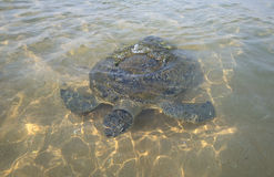 Big sea turtle swimming over a sandy shallow Stock Photography