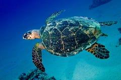 Big sea turtle swimming underwater. Sea turtle swims in blue underwater stock image