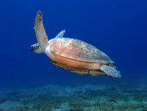 Big sea turtle swimming underwater. Sea turtle swims in blue underwater royalty free stock photography