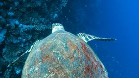 The big turtle swims slowly. The big sea turtle swims slowly along the coral reef, Red sea, Egypt. Full HD underwater footage stock footage