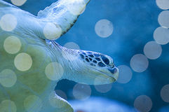 A big sea turtle Stock Photography