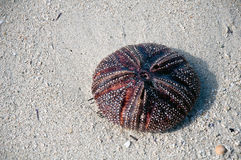 A big sea urchin Royalty Free Stock Photo