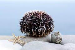 Big sea urchin Royalty Free Stock Photo