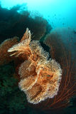 Big seafan. At Moal Boal, Philippines Stock Image