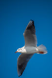 Big seagull bird flying passing by Royalty Free Stock Photo