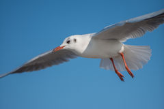 Big Seagull bird. Seagull with large spread wings in front of a blue sky Stock Image
