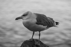 Big seagull bird standing on the rock. In front of the shore Stock Photos