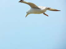 Big Seagull in the sky. Blue sky. Royalty Free Stock Photography