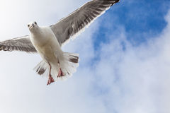 Big seagull in sky with clouds Stock Photography