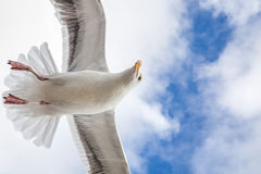 Big seagull in sky with clouds Stock Images