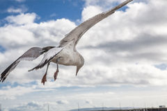 Big seagull in sky with clouds Stock Photo