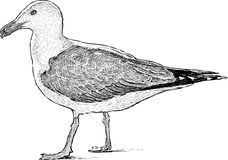 Big seagull Royalty Free Stock Photo