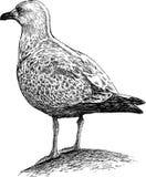 Big seagull Stock Image