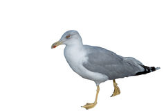 Big seagull walking isolation. Big seagull walking on white background Royalty Free Stock Photography