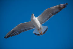 Big seagull wings. Big seagull bird with large spread wings flying over Stock Photo