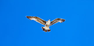 Big seaguls flying in the sky Royalty Free Stock Photos