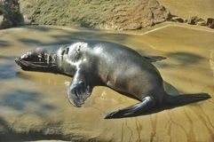 Big seal relaxing. Great seal sunbathe relax at the lake Royalty Free Stock Photo