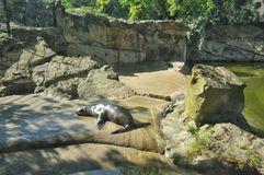 Relaxed seal Royalty Free Stock Photos