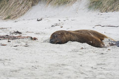 Big sealion on the beach. Big Sea lion on the beach of New Zealand Royalty Free Stock Photography