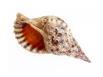 Big seashell. On white background stock photo