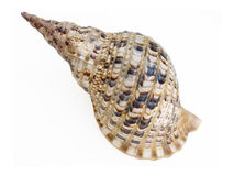Big seashell. On white background stock image
