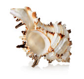 Big seashell  Stock Photos
