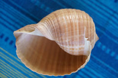 Big seashell Stock Image