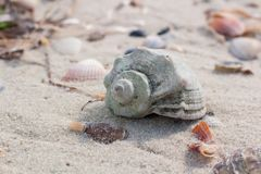 Big seashell and clams on coastal sands, sandy seascape. Seashells and clams on coastal sands, sandy beach seascape Stock Images