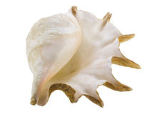 Big seashell Stock Photography
