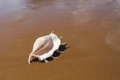 Free Big Seashell Spider Conch Lambis Truncata On The Beach Royalty Free Stock Images - 146923239