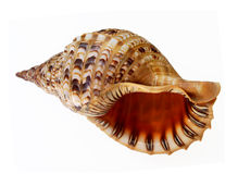 Big seashell talking Stock Photo
