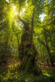 Big and secular chestnut tree in Casentino forest. Tuscany, Ital royalty free stock photography