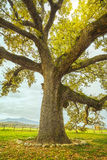 Big and secular oak tree on a green meadow. Tuscany, Italy. Royalty Free Stock Photos