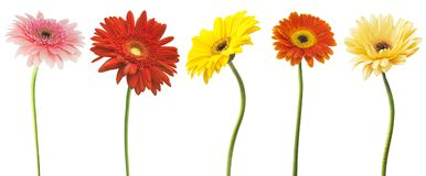 Big Selection of Colorful Gerbera flower Gerbera jamesonii Isolated on White Background. Various red, yellow, orange, pink.  royalty free stock images