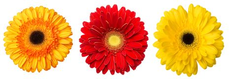 Big Selection of Colorful Gerbera flower Gerbera jamesonii Isolated on White Background. Various red, yellow, orange, pink.  stock photo