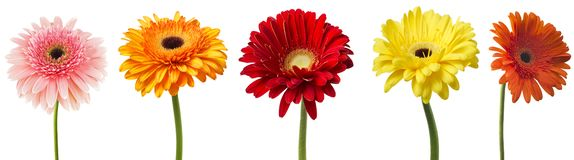 Big Selection of Colorful Gerbera flower Gerbera jamesonii Isolated on White Background. Various red, yellow, orange, pink.  royalty free stock photography