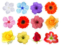 Big Selection of Various Flowers Isolated on White Background. Red, Pink, Yellow, White Colors including rose, gerbera, amaryllis, primrose and other Stock Images