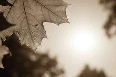 Big of sepia color leaf a maple against the sky Royalty Free Stock Photography