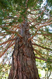 A big sequoia Royalty Free Stock Photo