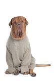 Big Serious Dog in Sweater Royalty Free Stock Image