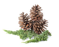 Big set of cones various coniferous trees  on white. Stock Photo