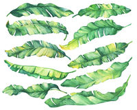 Big set exotic tropical banana green and yellow leaves. Watercolor hand drawn painting illustration, on white background Royalty Free Stock Image