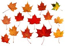 Big Set of hi resolution natural colorful falling marple leaves isolated on white background. Autumnal element. Good for autumn backgrounds, greeting cards stock images