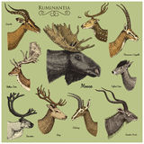 Big set of Horn, antlers Animals moose or elk with impala, gazelle and greater kudu, fallow deer reindeer and stag, doe. Or roe deer, axis and dibatag hand Stock Image