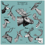 Big set of Horn, antlers Animals moose or elk with impala, gazelle and greater kudu, fallow deer reindeer and stag, doe Stock Photo