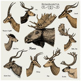 Big set of Horn, antlers Animals moose or elk with impala, gazelle and greater kudu, fallow deer reindeer and stag, doe. Or roe deer, axis and dibatag hand Stock Photos
